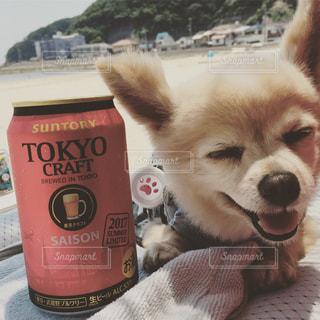 チワワ,おいしい,海でビール,ちわわ,ビール最高,うまぁーい