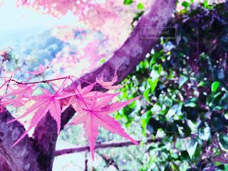 ピンクの花の木の写真・画像素材[859481]