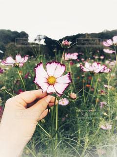空,秋,花畑,ピンク,白,コスモス,手,下松スポーツ公園