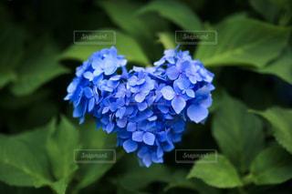 ハート,紫陽花,6月,アジサイ,三室戸寺
