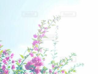 空,花,沖縄,ブーゲンビリア