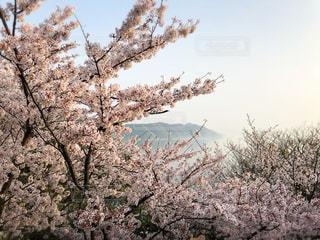 花,春,桜,絶景,旅行,日本,瀬戸内海,しまなみ海道,とびしま海道,大崎上島,ホテル清風館,きのえ温泉