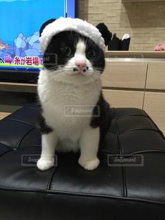 コスプレ猫ごましおの写真・画像素材[1257815]