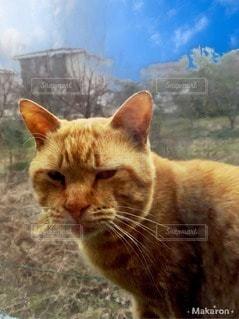 猫,動物,屋外,ペット,人物,茶トラ,ネコ