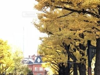 紅葉,屋外,晴天,黄色,北海道,樹木,札幌,大通り,11月,並木通り