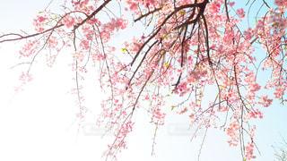 自然,空,春,桜,木,屋外,青空,サクラ,樹木