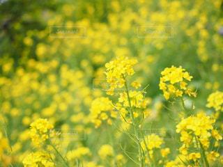自然,花,春,屋外,植物,黄色,菜の花,アブラナ,イエロー,クローズアップ,草木,神奈川県