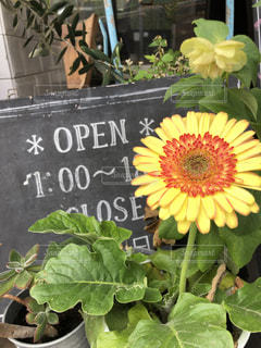 カフェ,花,植物,看板,黄色,プランター,黒板,さわやか,店先,オープン,ガザニア