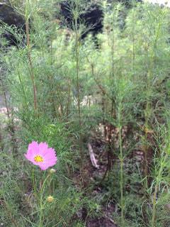 自然,花,秋,緑,コスモス,田舎,秋桜,大洲市,こすもす