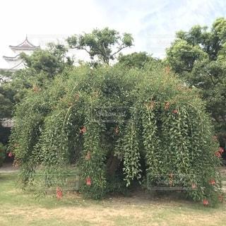 庭の植物アメリカデイゴの花の写真・画像素材[1382815]