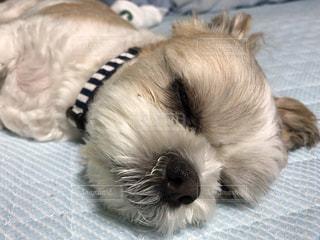 犬,寝顔,シーズー,犬の半目,半目で寝る