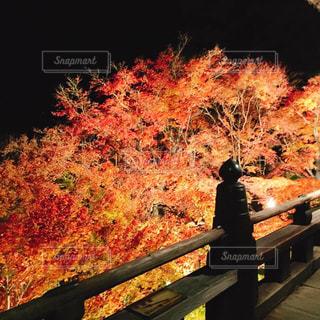 紅葉のライトアップの写真・画像素材[2511091]