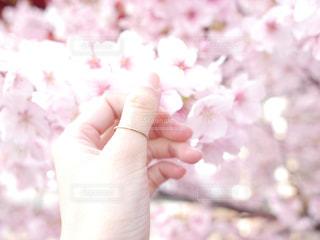 花,春,桜,木,手,指輪,花見,お花見,人,イベント
