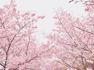 空,花,春,桜,木,屋外,ピンク,花見,樹木,お花見,イベント,草木,日中,さくら,ブロッサム