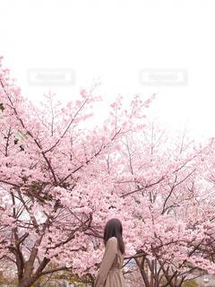 女性,1人,花,春,桜,ロングヘア,木,屋外,ピンク,ワンピース,花見,樹木,お花見,イベント,草木,日中,さくら,ブロッサム,インスタ映え