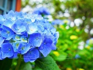 紫陽花の写真・画像素材[3374485]
