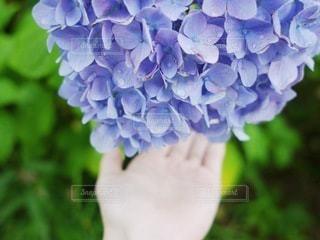 こぼれそうな紫陽花を持つ手の写真・画像素材[3374482]