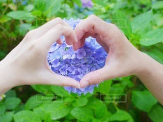 カップルと紫陽花の写真・画像素材[3374535]