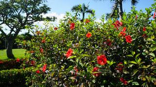 ハイビスカスのある庭の写真・画像素材[899897]