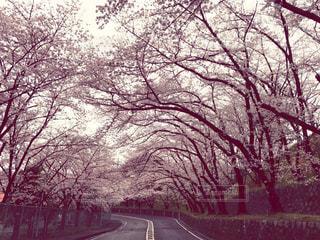 桜 - No.419046