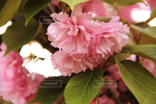 春 - No.418147