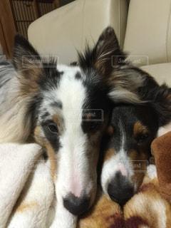 犬の写真・画像素材[486438]