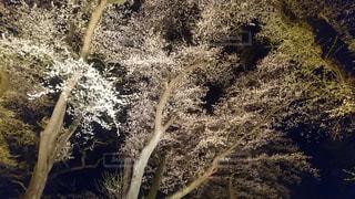 神社,夜桜,福島県,東北で良かった