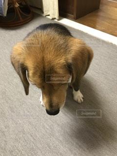 床に茶色の犬立っています。の写真・画像素材[705623]