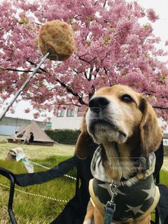 犬,桜,お花見,ビーグル,焚き火,河津桜,デイキャンプ