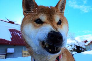 近くに犬のアップの写真・画像素材[936204]