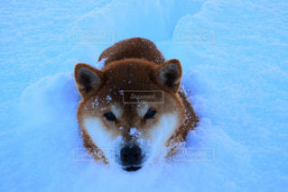 雪のプールで泳いでいる犬 - No.1005129