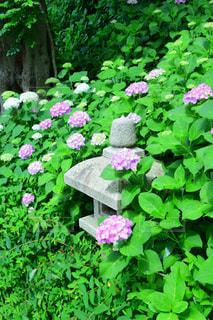 紫陽花 - No.578543