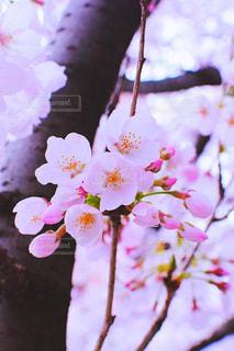 春,桜,ピンク,桃色,NikonD5300