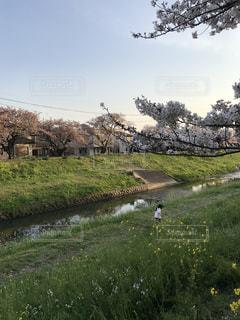 川,菜の花,さくら