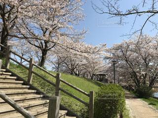2017年春。桜並木。の写真・画像素材[430094]