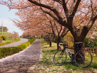 桜,自転車,サイクリング