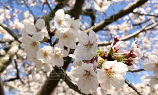 植物の白い花の写真・画像素材[1103155]