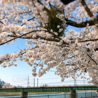 春,桜,京都,散歩,花見,宇治