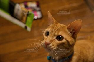 カメラを見ている猫の写真・画像素材[4242813]