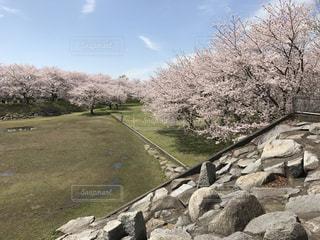 風景,空,桜,青空,花見,茨城県,つくば市,反町公園