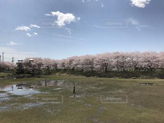 風景,空,桜,青空,花見,お花見,茨城県,つくば市,反町公園