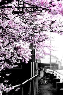 桜,サイクリング