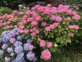 花,屋外,綺麗,鮮やか,紫陽花,草木,彩り,ガーデン,梅雨の晴れ間,梅雨に負けず