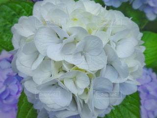 花,白,あじさい,紫陽花,梅雨,6月