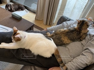 ご主人様の上で寝てる猫の写真・画像素材[1629315]
