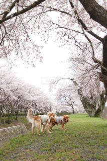 桜,ピンク,花見,サクラ,ハート,ふんわり,Spring,cherryblossam
