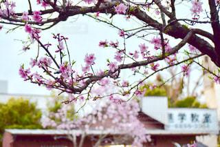 お花見 - No.424964