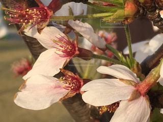 桜,花びら
