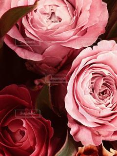花,ピンク,バラ,ピンク色,pink,もも色