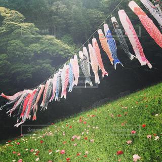 #こどもの日#鯉のぼり#くりはま花の国#ポピー祭りの写真・画像素材[472233]